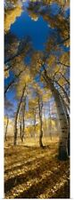 Poster Print Wall Art entitled Low angle view of Aspen trees in the forest,