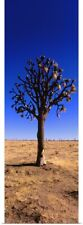 Poster Print Wall Art entitled Joshua tree (Yucca brevifolia) in a field,