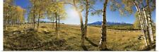 Poster Print Wall Art entitled Aspen trees in a forest, Colorado