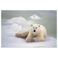 Poster Print Wall Art entitled Polar Bear Lying On The Ice, Churchill, Manitoba,