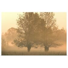 Poster Print Wall Art entitled Willow trees in the morning mist