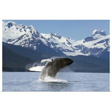 Poster Print Wall Art entitled A humpback whale leaps from the calm waters of