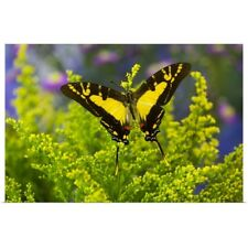 Poster Print Wall Art entitled Orange Kite Swallowtail Butterfly, Eurytides