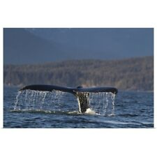 Poster Print Wall Art entitled Humpback Whale Tail Dripping Water As The Whale