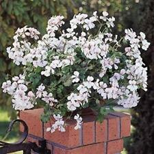 Outsidepride Ivy Leaf Geranium White Flower Seeds