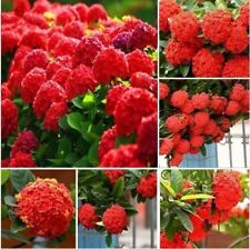 20pcs/pack Red Hydrangea Seeds Mixed Hydrangea Flowers seed