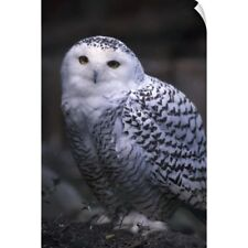 Wall Decal entitled British Columbia, Vancouver Island, Snowy white owl