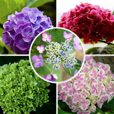 100X Hydrangea Flower Seeds Mixed Color Potted Bonsai Plant Seed Garden Decor