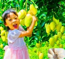 1pcs/ bag Colour Giant Mango Seeds Rare Delicious Fruit Seed Fruit Tree Bonsai B