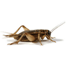 Crickets (Adult) Live Original Brown Crickets, From 100 to 1000 Cts
