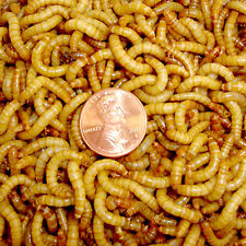 1100ct Mealworms Reptiles, Birds, Chicken, Fish & Fishing (FREE SHIPPING)