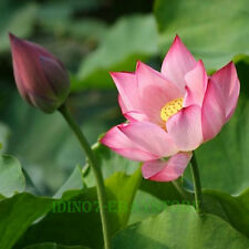 10-60 Seeds Light Pink Bowel Lotus Nelumbo Nucifera Sacred Water Lily of Buddha