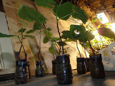 "Yellow Fruit Fig Tree well rooted, 1 year old, size 10"" to 14"". $9.99 each"