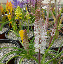 Lachenalia seeds (20 SEEDS PER PACK)