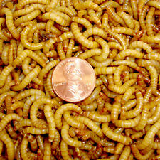 Live Mealworms  500, 1000, 2000 ct - Reptile, Wild Bird, Fish Food
