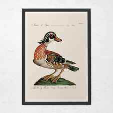 ANTIQUE DUCK PRINT- Vintage Ornithology Print - Antique Bird Print, Professional