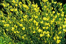 Cytisus praecox Allgold  in 10L pot Broom
