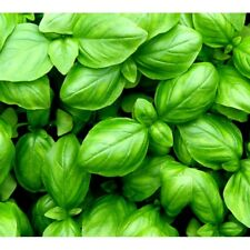 100% Pure Essential Oil - BASIL Aromatherapy 12ml Fragrance Burner Therapeutic