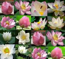10 MIXED SEEDS LOTUS NELUMBO POND PLANT FRESH NOT WATER LILY