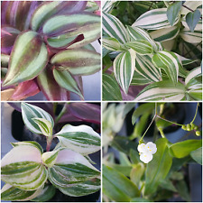 Wandering Jew/Inch/Tradescantia fluminensis Zebrina House Plant Varieties
