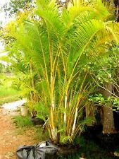 *UNCLE CHAN* GOLDEN CANE PALM SEED Chrysalidocarpus Lutescens ARECA PALM SEED