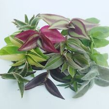 Wandering Jew/Tradescantia fluminensis Zebrina House Plant Varieties Cutting