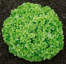 Green Curled Lettuce - LOLLO BIONDA - 500/1000 Heirloom Organic Vegetable Seeds