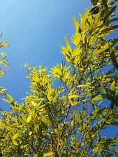 Phyllostachys Aurea -Golden Fishpole Bamboo -Hardy Grass -PAY P&P ONCE ON PLANTS