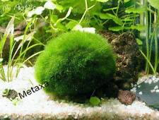 2 boules d'algue  Plantes D'Aquarium
