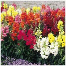 "Snapdragon ""Shapeshifter™"" seeds. Super bright flowering variety, compact plant."