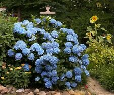 Hydrangea Endless Summer Partial Shade Specimen Shrub Border Bigleaf Live Plant
