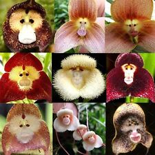Various Mixture Funny Rare Kinds Of Monkey Face Orchid Flowers Seeds SKU160543