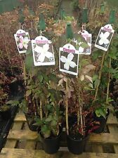 Clematis Montana Varieties Growing in 2ltr Pots on 80cm Triple Canes