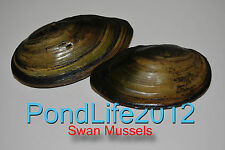 SALE 50% OFF Swan Mussel Perfect For ANY Garden Pond/Cold water Fish Tank,Filter
