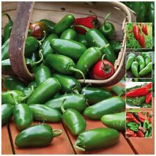 """Chili """"Jalapeno Gran Chile™"""" seeds. Thick green & red chilli. Medium hot fruit."""