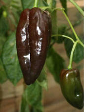 25+ Organically Grown Heirloom Ancho Poblano Hot Pepper Seeds With A Bonus