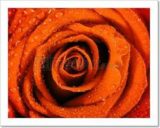 Wet Red Rose Close Up With Water Art Print Home Decor Wall Art