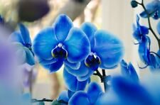 Blue Butterfly Orchid Seeds Rare Phalaenopsis Flower Seed Bonsai Plants 100 200