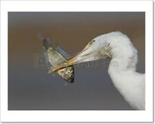 Cattle Egret Art Print Home Decor Wall Art - 3