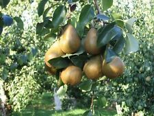 Pear Tree Hood Fragrant Flowers Edible Fruit Go Green Great with Pecan Tree