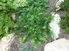 Cephalotaxus Spreading Yew, plum yew, evergreen, shade, deer resistant, easy