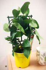 1 LEMON INDOOR TREE @ POT OUTDOOR GARDEN SCENT CITRUS FRUIT TRELLIS HOUSE PLANT