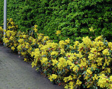 1 - 2ft Mahonia  bare root hedge plants, hedging plant sapling + FREE guide!