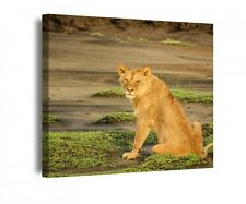 Canvas 1Tlg Lion Lioness Africa Animal Desert Canvas Picture Pictures 9R1219