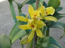 """Vanilla Planifolia Bean Plants,Cuttings with air root, 6""""-10"""" Inches Very Rare"""