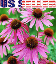 100+ ORGANICALLY GROWN Echinacea Purpurea Purple Coneflower Seeds Healthy Herb