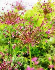 3-10 ALLIUM SPIDER BULBS FRAGRANT PURPLE SUMMER GARDEN PERENNIAL SIZE 10/12