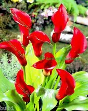 POTTED 1 LITRE ZANTEDESCHIA MAJESTIC RED CALLA (ARUM)LILY BULBS SUMMER PERENNIAL