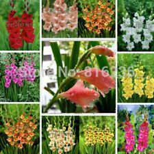 50 Pcs Gladiolus Seeds, Gladiolus Flower, Fall and Winter Planting Flowers