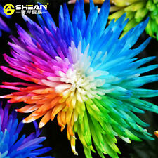 100 Pcs Rainbow Chrysanthemum Flower Seeds, Rare Color Chrysanthemum Morifolium